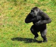 borstroffel gorilla