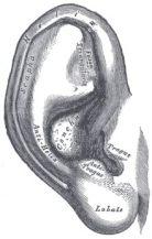 oor oude anatomische tekening